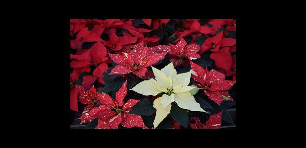 The beautiful poinsettia stands as a decoration on its own.